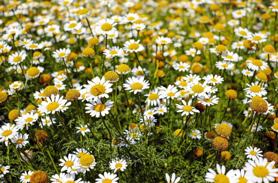 Chamomile has calming effect