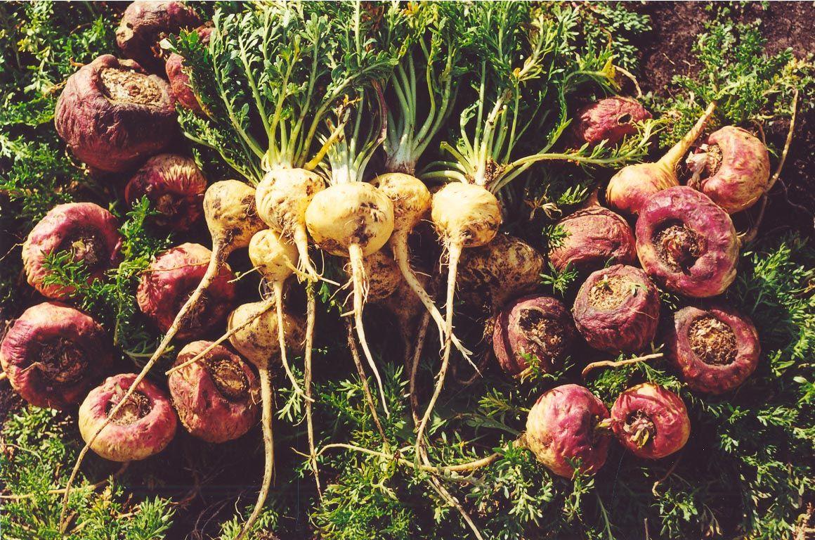 maca - zázračná bylina z peru - zvyšuje libido, podporuje plodnosť