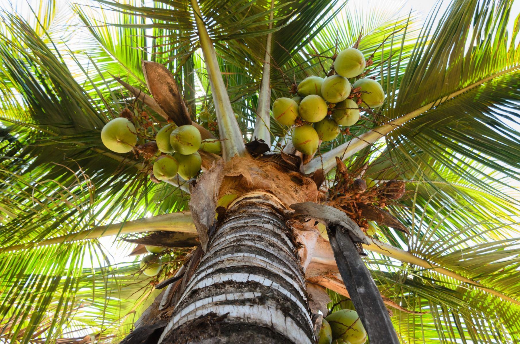 Kokosovo ulje – super namirnica ili super mit