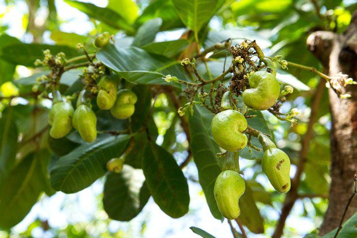 kešu orechy odkiaľ pochádzajú?