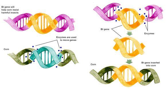 ako prebieha genetická modifikácia
