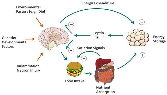 inzulínová hypotéza