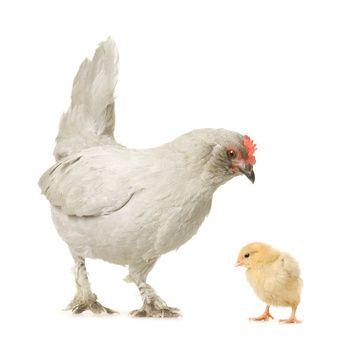 Výskum na kurčatách s vitamínom D